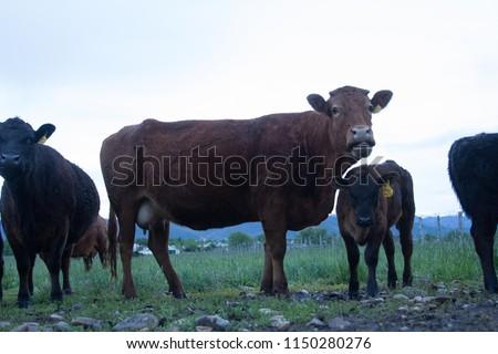 Dairy Cows in Heber Utah #1150280276