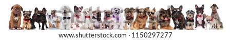 large group of gentleman dogs of different breeds wearing bowties standing, sitting and lying on white background #1150297277