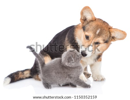 Corgi puppy sniffing and kissing tiny  kitten. isolated on white background #1150352159