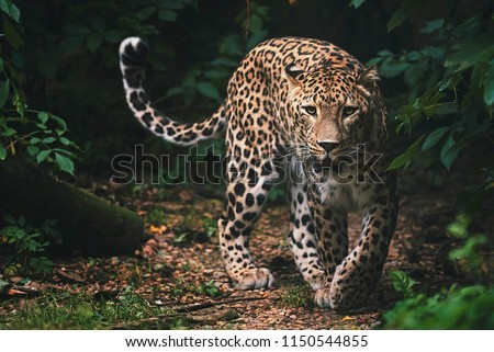 Persian leopard (Panthera pardus saxicolor) is a magnificent animal from which it comes genuine respect #1150544855