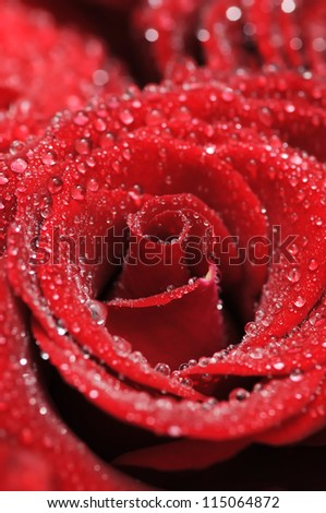 Beautiful red rose with small dew drops. Close-up. #115064872