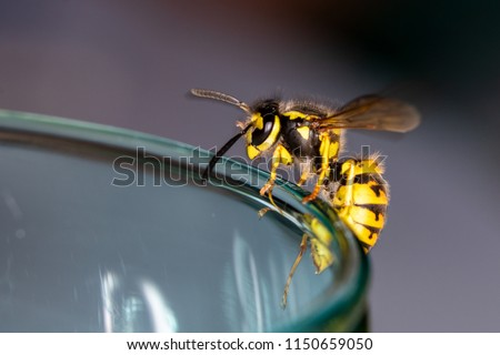Wasp sitting on a glass  - danger of swallowing a wasp in the summer #1150659050