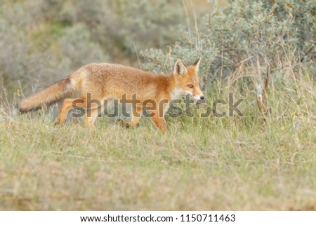 Red fox cub in nature #1150711463