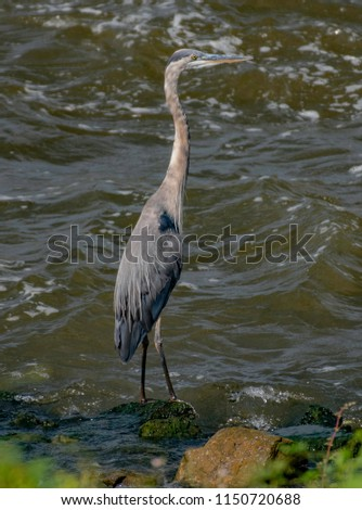 A great blue heron, Ardea herodias, Hunts for fish on the Red River. #1150720688