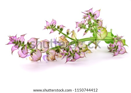 Clary Sage (Salvia Sclarea) Medicinal Herb Plant Used in Cosmetics and Pharmaceutics Industry. Primarily Grown for Its Distilled Essential Oil. Isolated on White Background. #1150744412