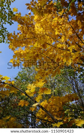 Autumn maple tree with yellow leaves                               #1150901423