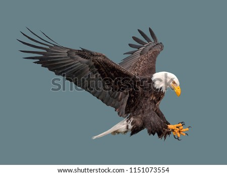 Bald eagle in flight on isolated background #1151073554