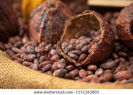 Dried cocoa beans and dried cocoa pods are poured into canvas sacks as raw materials for making cocoa powder, cocoa beverages and chocolate. Health drink concept. #1151363801