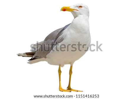 White and grey seagull isolated on white background Royalty-Free Stock Photo #1151416253