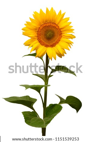 Flower of sunflower isolated on white background. Seeds and oil. Flat lay, top view #1151539253