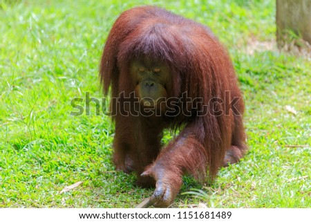 orangutans or pongo pygmaeus is the only asian great found on the island of Borneo and Sumatra #1151681489