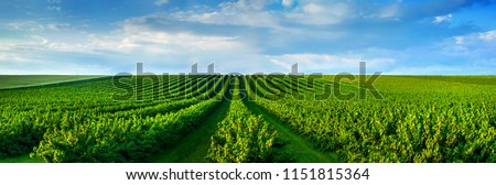 level lines of currants plantation, natural fruit products. Royalty-Free Stock Photo #1151815364