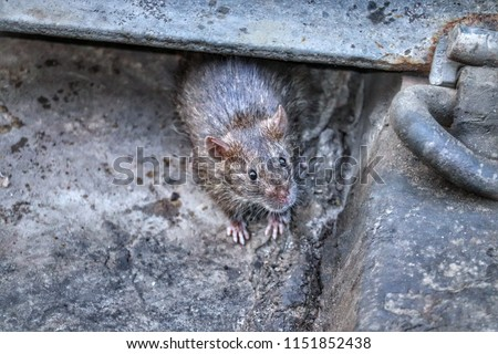 A big rat under the railway line. mouse wallpapers, rat picture