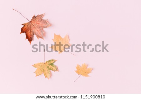 Autumn composition. Pattern made of dried autumn maple leaves on a pastel pink background. Autumn  background. Flat lay, top view, copy space #1151900810