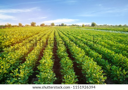 potato plantations grow in the field. vegetable rows. farming, agriculture. Landscape with agricultural land. crops #1151926394