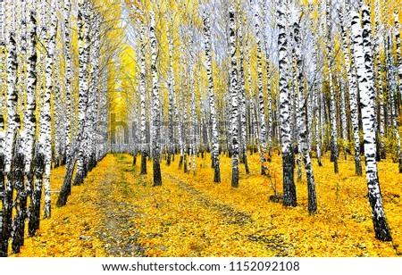 Autumn birch tree forest road landscape. Birch tree forest road in autumn season. Autumn birch tree forest road view #1152092108