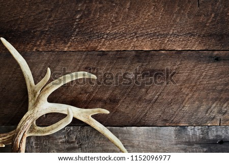 A pair of real white tail deer antlers over a rustic wooden background. They are used by hunters when hunting to rattle in other large bucks. Free space for text.