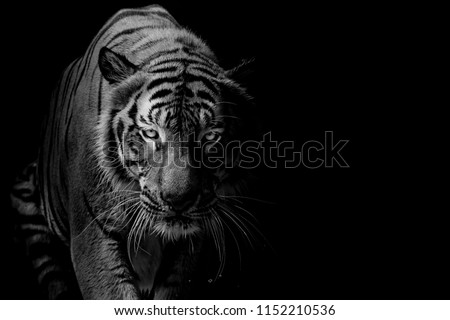 Black and white Tiger portrait in front of black background Royalty-Free Stock Photo #1152210536