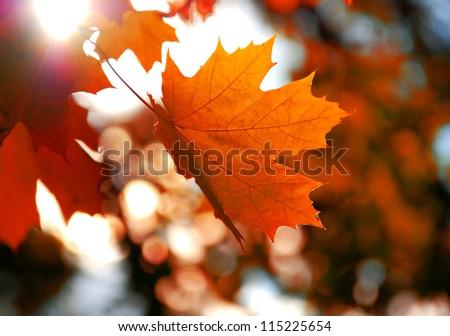 Yellow maple leaf #115225654