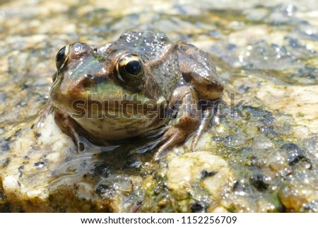 The true frogs, family Ranidae, have the widest distribution of any frog family, here a frog on a stone near the village Balugães, Braga Barcelos district in the North of Portugal.  #1152256709