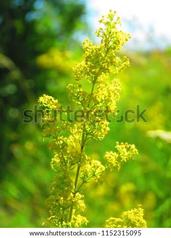 flowers of yellow bedstraw, Galium verum, #1152315095