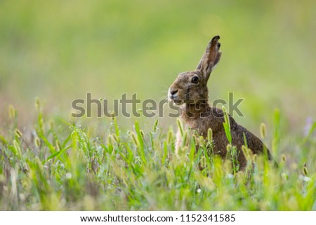 European brown hare (Lepus europaeus) #1152341585