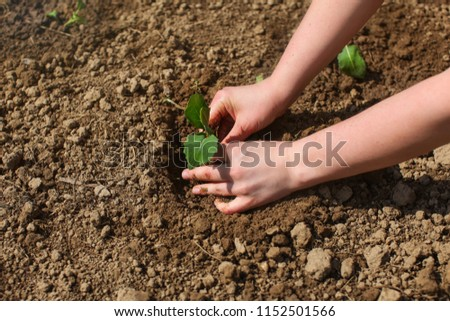 Woman hands planting young seedling plant into wet garden soil, sun shining on green nurseling. #1152501566