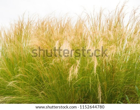 Feather Grass or Needle Grass, Nassella tenuissima and white background #1152644780