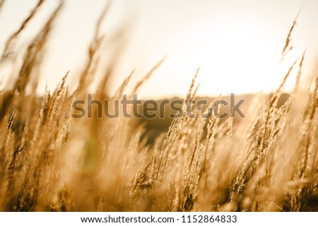 Yellow grass on the field in the sunlight at sunset. Background. World, country environment day concept. Stunning meadow sunrise with bokeh light. Autumn, spring, summer.