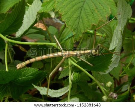 Mauritius Rough Stick Insect Rhaphiderus scabrosus male in terrarium                              #1152881648