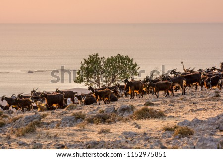 Goats on the mountain in the sunset light #1152975851