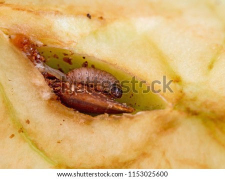 Codling moth larva, Cydia pomonella grub, larva. Caterpillar happily eating in my apple. Macro of this pest. #1153025600