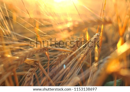 Ripe barley, barley field in the background of sunset, golden barley, ears of barley #1153138697
