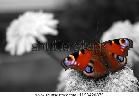 Bright and colorful European peacock butterfly in the black and white photo. Selective color