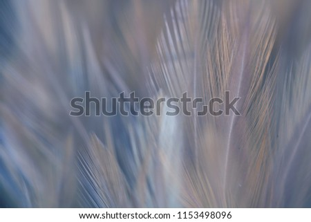 Blur Bird chickens feather texture for background Abstract, soft color of art design. #1153498096