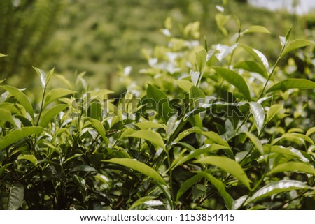 close up Tea plant leaves green background #1153854445