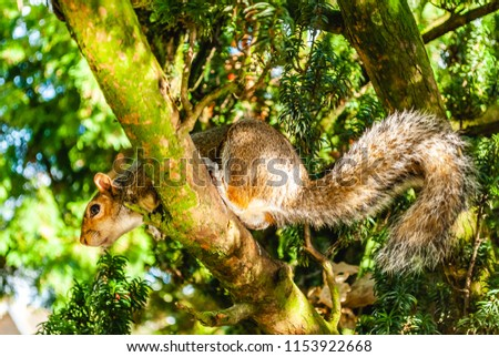 A squirrel  playing  on a tree  jumping from branch to branch ion a sunny morning in the wild. #1153922668
