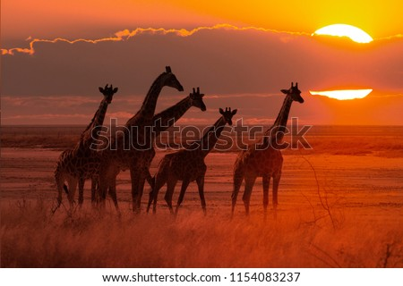 moody sunset in african savanna with a giraffe herd, concept for safari tourism and travel africa #1154083237