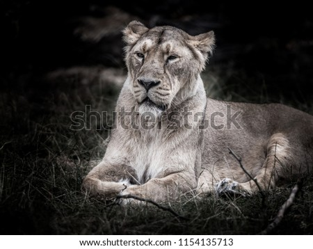 Portrait of Asiatic lion  #1154135713