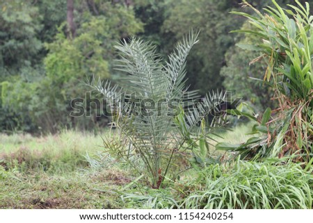 Date palm, BARHEE/BARHI, plant in the field. #1154240254