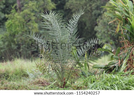 Date palm, BARHEE/BARHI, plant in the field. #1154240257