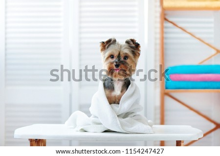 Happy yorkshire terrier dog after bath #1154247427