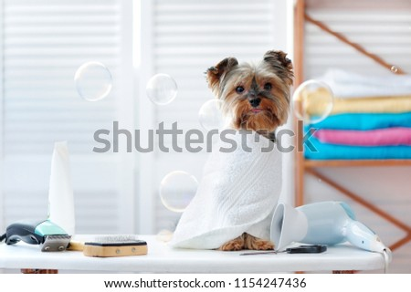 Full length picture of a yorkie puppy in a towel sitting in a grooming salon