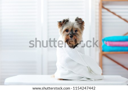 Yorkshire terrier puppy wrapped in a towel #1154247442