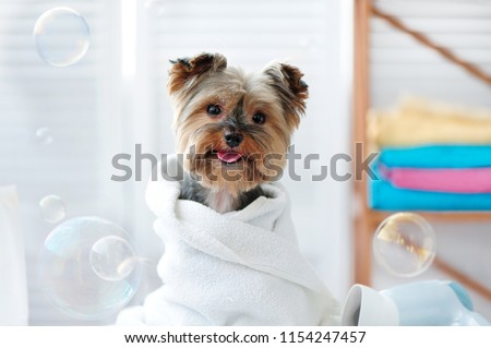 Cute little yorkie dog in a towel after bath