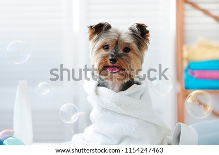 Yorkshire terrier in a bath towel showing tongue #1154247463