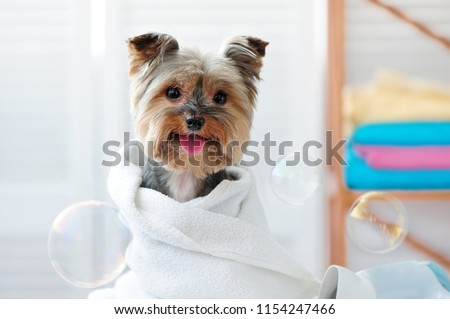 Smiling dog after bath showing tongue #1154247466