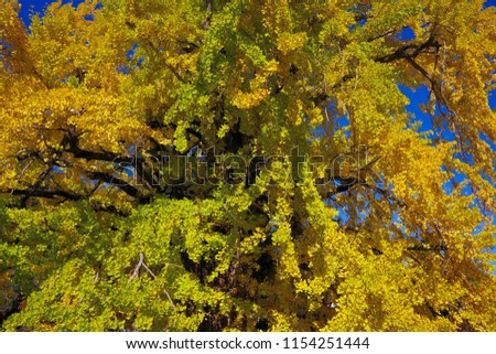 Tree of big ginkgo in the temple of Yamanashi, Japan #1154251444