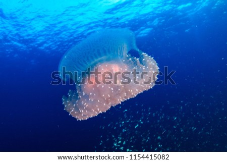 Beautiful delicate Jellyfish drifting in open ocean #1154415082
