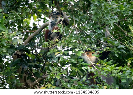 Red-shanked Douc- Langur on Son Tra peninsula in Da Nang City, Vietnam #1154534605